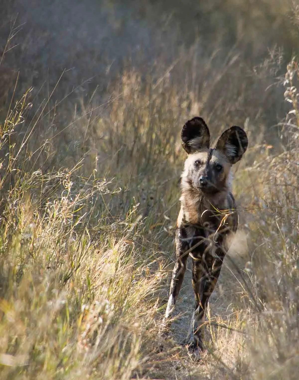 African Painted Dog Hwange National Park