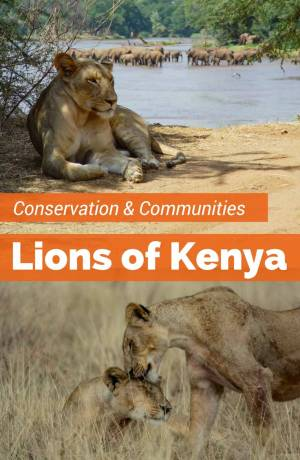 The threatened population of Kenya Lions in the Samburu get community conservation support from the Ewaso Lions project. Choose Kenya safaris that visit the Samburu area that support conservation
