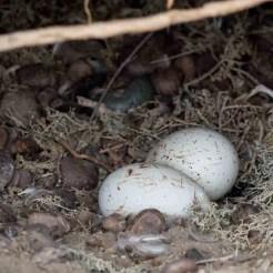 Magellanic Penguin Eggs