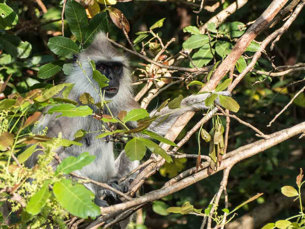 Bear Monkey Kaudulla National Park on Sri Lanka Safaru