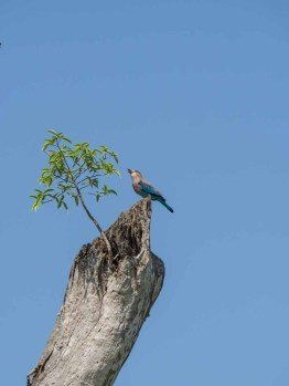 Indian Blue Roller Bird in Kaudulla National Park