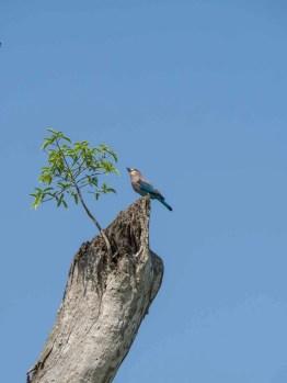 Indian Blue Roller Bird in Kaudulla National Park