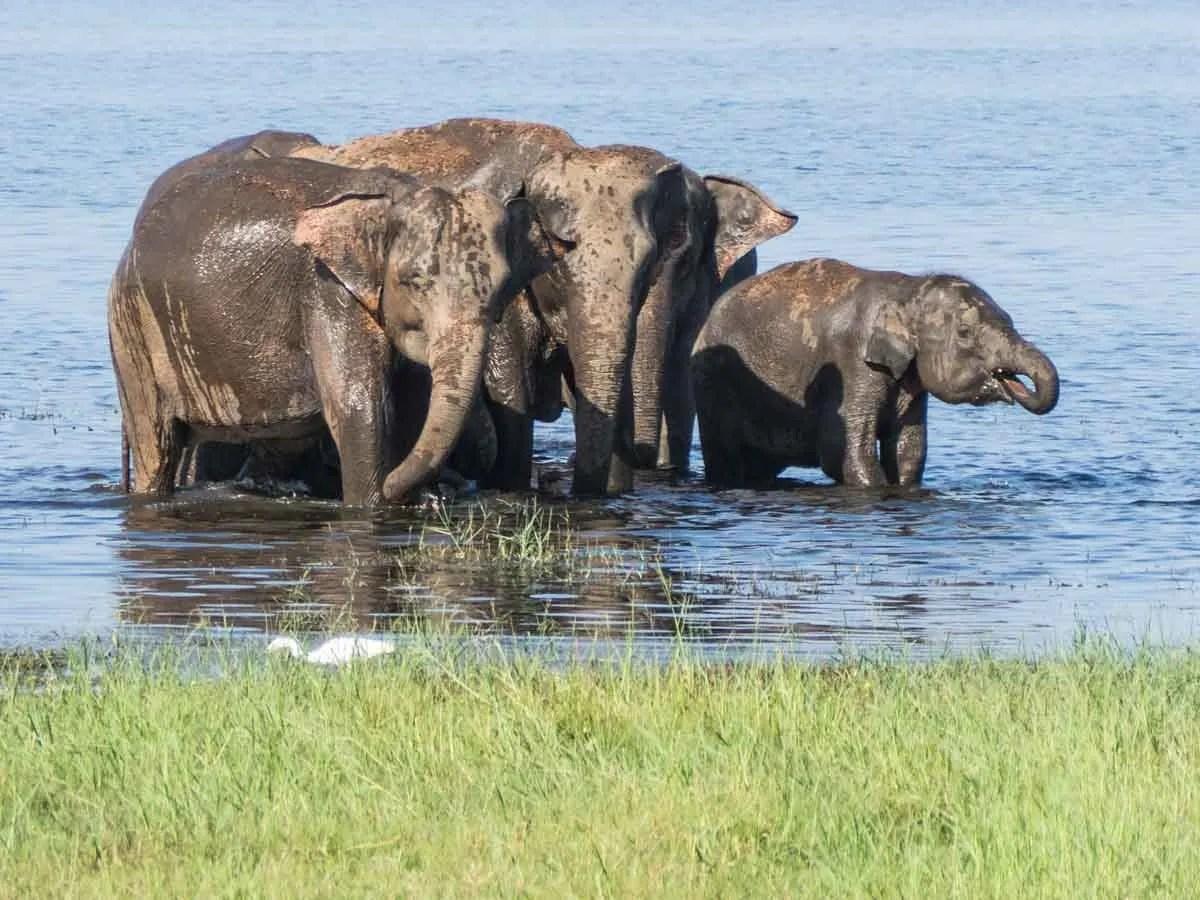 Wildlife in Sri Lanka Kaudulla elephants
