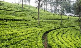 Sri Lanka Tea Field Train to Ella