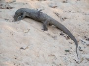 Large land monitor lizard Yala Sri Lanka wildlife