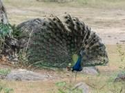 Yala national park peacock display
