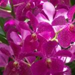 Singapore Botanical Gardens orchids