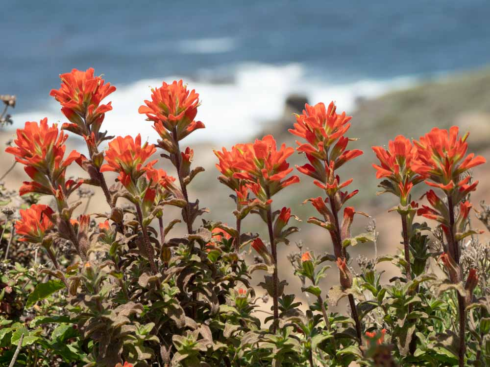 Point Lobos Indian Paintbrush orange flowers