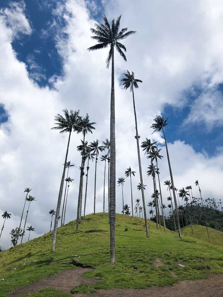 Colombia Salento wax palm trees