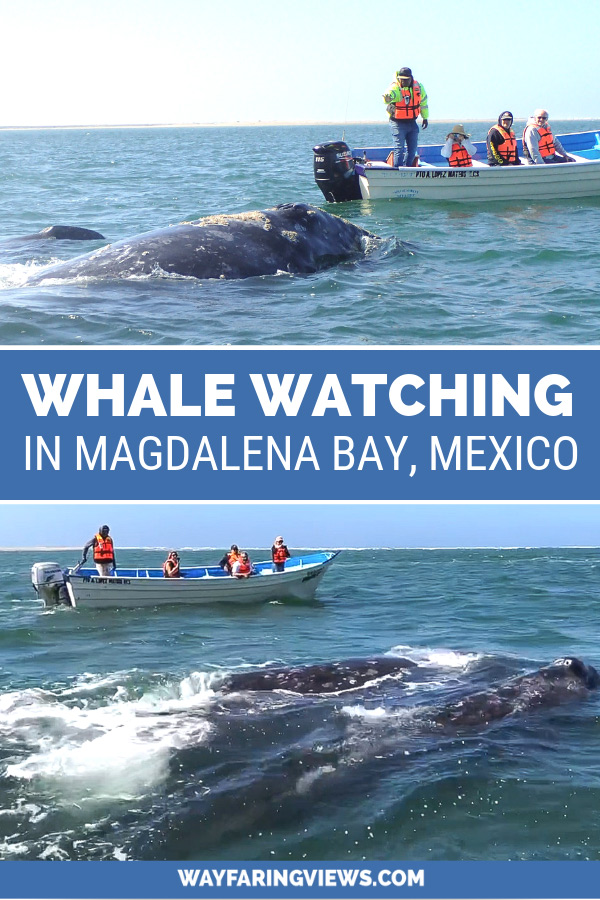 Magdalena Bay whale watching. Baja mexico, grey whales with boats