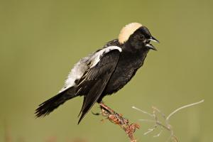 Morning Bobolink Walk @ meet at Town Building Parking Lot | Wayland | Massachusetts | United States