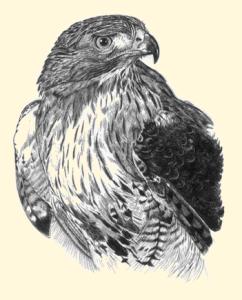 North American Birds Of Prey Waylandenews