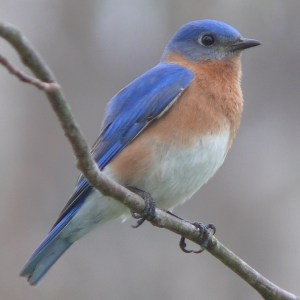 Songbirds of the Northeast @ Council on Aging