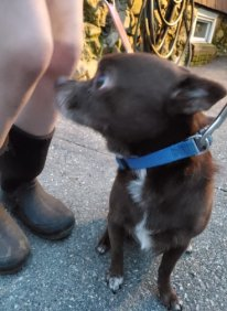 Found Dog Chihuahua