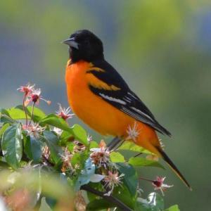 Spring Bird Walk at Greenways @ Greenways Conservation Area, Wayland