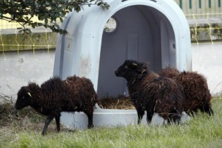 paris-lawnmower-sheep