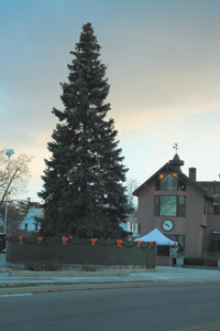The 40 year old, 60 ft. blue Spruce between Chappell's Coral Grill and the Law Office of Shine & Hardin, just prior to lighting on November 21, 2008.