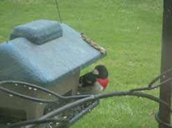 GROSBEAKS ARE HERE!