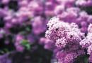 ENJOYING THE BEAUTY OF LILACS – Green-Thumb Gardener