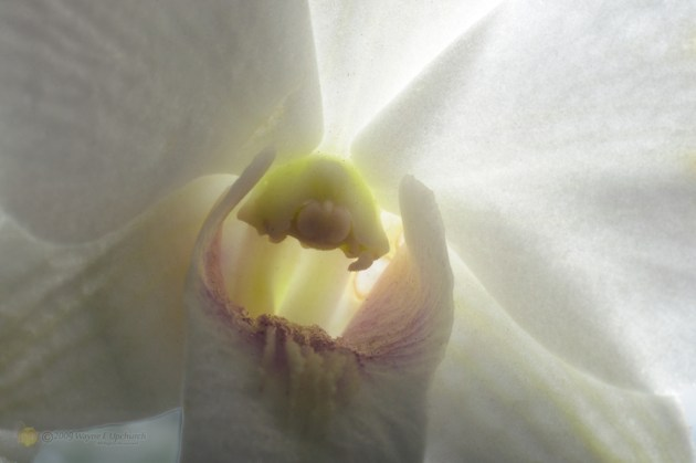 Orchid-38