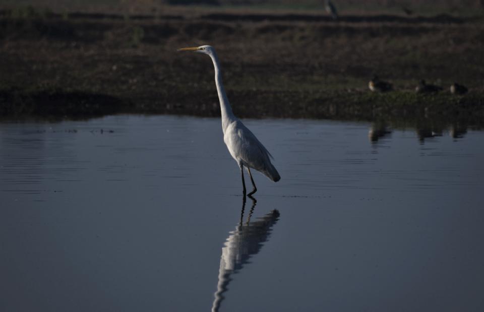 great egret bird at gharana wetlands, jammu