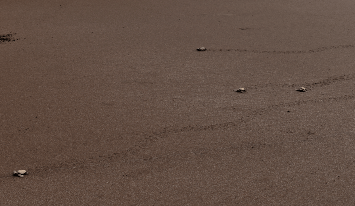 olive ridley sea turtle hatchlings make their way to the sea at velas turtle festival