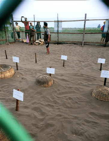 olive ridley sea turtle hatchlings conserved under straw baskets at velas turtle festival, maharashtra