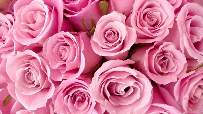fleur rose fond d ecran hd