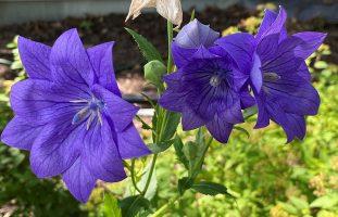 Two bright purple flowers.