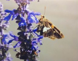 A moth climbs the side of a purple flower stalk.