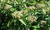 Wild Raisin (Viburnum nudum)