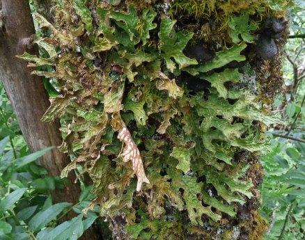 Lung Lichen (Lobaria pulmonaria)