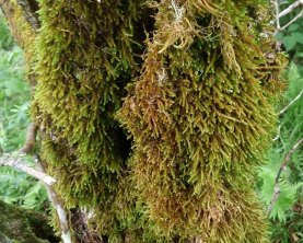 Possibly Medusa Moss (Hedwigia ciliata)