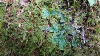 Cats Tongue Liverwort (Conocephalum conicum) & Other Goodies