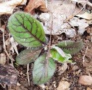 Hieracium venosum (Rattlesnake Weed)