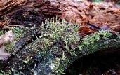 A Hornwort (Possibly Phaeoceros carolinianus)