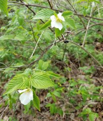 Possibly Jet Bead (Rhodotypos scandens)
