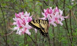 Pinxterflower azalea (Rhododendron periclymenoides) and friend