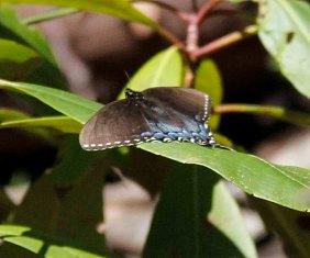 Spicebush swallowtail butterfly (Papilio troilus)