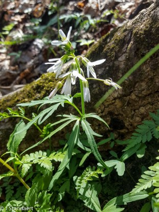 Cardamine concatenata, Cut-leaved Toothwort