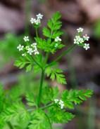 Chaerophyllum tainturieri (Wild Chervil)