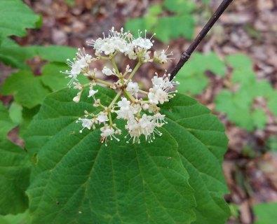 Oak-leaf Hydrangea (Hydrangea quercifolia)