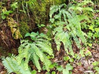 Northern Maidenhair Fern (Adiantum pedatum)