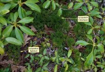 Ground Cedar (Lycopodium tristachyum) and Fan Club Moss (Lycopodium digitatum)