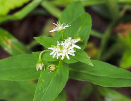 Star chickweed (Stellaria pubera),