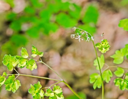 Early Meadow Rue Females Flower (Thalictrum dioicum)