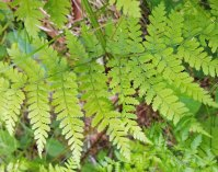 Mountain Wood Fern (Dryopteris campyloptera)