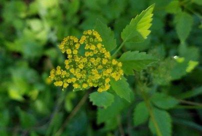 Hairy-jointed Meadow Parsnip (Thaspium barbinode)