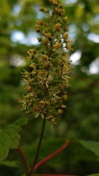 Mountain Maple (Acer spicatum) Bloom