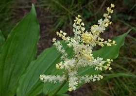 Solomon's Plume (Maianthemum racemosum)